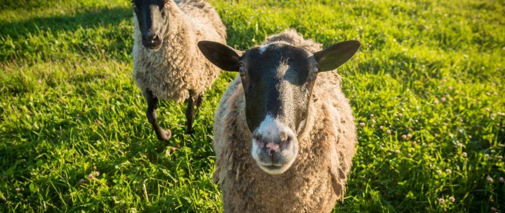 Sheep-Herding-Demonstration